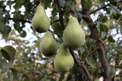 在树枝的成熟梨在有机庭院里 梨看法的关闭在与下叶子的洋梨树分支增长 免版税库存图片