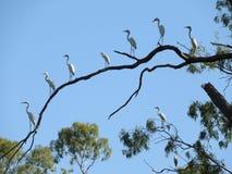 在树枝的朱鹭 免版税图库摄影