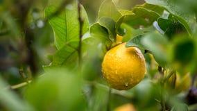 在树枝的柠檬在西西里岛 免版税库存图片