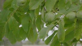 在树枝的核桃在收获未煮过的绿色坚果和叶子前在漂浮在风的分支 影视素材