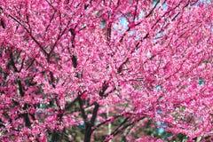 在树枝的桃红色花在庭院,美好的春天风景里开花明亮的天 免版税库存照片