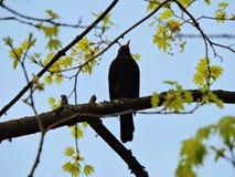 在树枝的椋鸟科鸟 库存照片