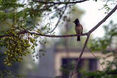 在树枝的歌手 免版税图库摄影
