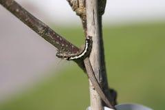 在树枝的毛虫 免版税图库摄影