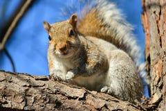 在树枝的灰鼠 免版税库存图片