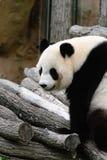 在树枝的熊猫 免版税库存照片