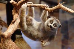 在树枝的狐猴 免版税库存图片