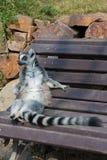 在树枝的狐猴 图库摄影