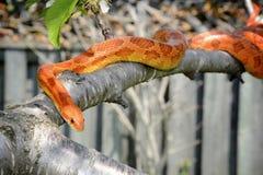 在树枝的玉米蛇 库存照片