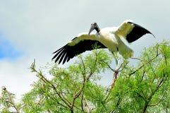 在树枝的白色木鹳在沼泽地 免版税图库摄影