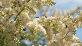 在树枝的白花由蜂授粉 t 许多不同的昆虫从开花收集花蜜