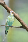 在树枝的笑的淡色Budgie鸟 库存照片