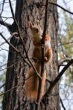 在树枝的红松鼠 免版税图库摄影