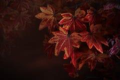 在树枝的红槭叶子与作为自然冬天秋天秋天背景的红色模糊的背景用途或背景和multipurpo 免版税图库摄影