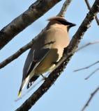 在树枝的美丽的黄连雀 库存图片