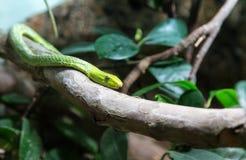 在树枝的翠青蛇 免版税库存照片