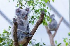 在树枝的考拉 免版税库存照片