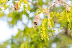 在树枝的腐烂的罗望子树果子在早晨 免版税库存照片