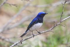 在树枝的蓝色和白色捕蝇器 免版税库存图片