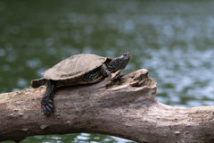 在树枝的被绘的乌龟 库存照片