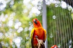 在树枝的逗人喜爱的太阳Conure鹦鹉鸟,长尾小鹦鹉在动物园里 免版税库存图片