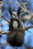 在树枝的野生灰鼠 免版税图库摄影