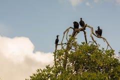 在树枝的雕在利文斯通附近在危地马拉 图库摄影
