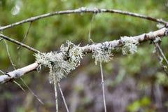 在树枝的青苔 在一个死的死的树枝的绿色青苔 免版税库存图片