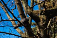 在树枝的鸠 库存图片