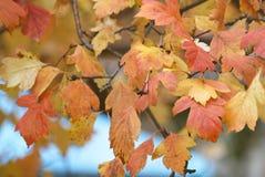 在树枝的黄色秋叶 免版税库存图片