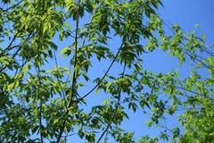在树枝的绿色叶子 免版税库存照片