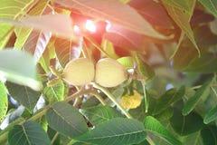 在树枝的绿色核桃 免版税库存照片