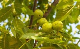 在树枝的绿色核桃 库存照片