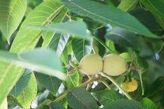 在树枝的绿色核桃 免版税图库摄影