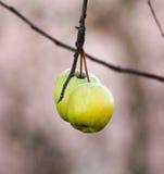 在树枝的黄色苹果没有叶子 库存图片