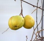 在树枝的黄色苹果没有叶子 免版税库存照片