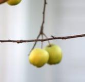 在树枝的黄色苹果没有叶子 库存照片