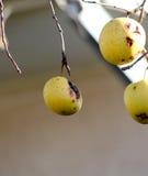 在树枝的黄色苹果没有叶子 免版税库存图片