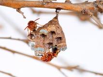 在树枝的黄蜂巢 免版税图库摄影