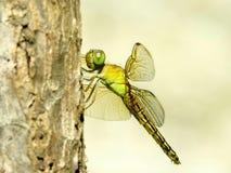 在树枝的蜻蜓 库存图片