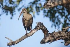 在树枝的Hadada朱鹭 库存照片