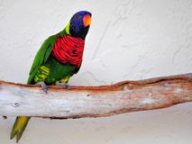 在树枝的Lorikeet鸟在鸟舍,佛罗里达 免版税库存照片
