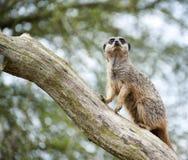 在树枝的Meerkat监视 图库摄影