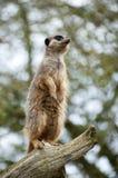 在树枝的Meerkat监视 免版税图库摄影