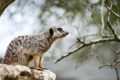 在树枝的Meerkat监视 免版税库存图片