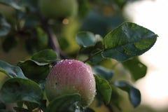 在树枝雨下落的苹果计算机果子 库存图片
