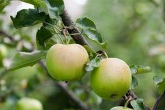 在树枝,秋天果树园风景的两个绿色苹果 宏观看法,软的焦点 浅深度的域 免版税图库摄影