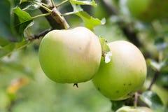 在树枝,秋天果树园风景晴天的两个绿色苹果 宏观看法,软的焦点 浅深度的域 图库摄影