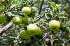 在树枝,秋天果树园风景晴天的绿色苹果 宏观看法,软的焦点 浅深度的域 图库摄影