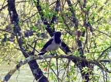 在树枝,立陶宛的乌鸦鸟 库存照片